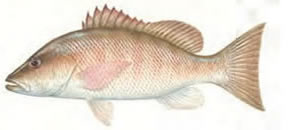 Gray (Mangrove) Snapper