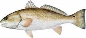 Red Drum (redfish)